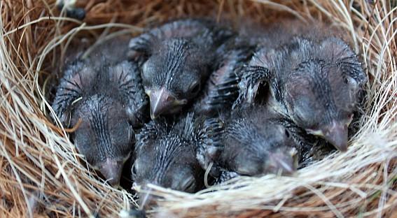 9 dagen oude Geelbuikjongen geboren in de zolder